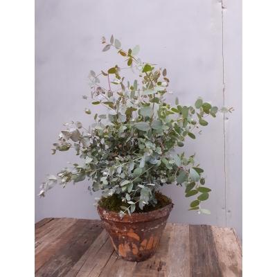 Plant 'Eucalyptus'